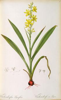 Wachendorfia Thyrsiflora, from 'Les Liliacees' von Pierre Joseph Redoute