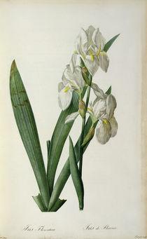 Iris Florentina, from `Les Liliacees' von Pierre Joseph Redoute