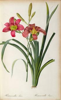 Hemerocallis fulva, from `Les Liliacees' von Pierre Joseph Redoute