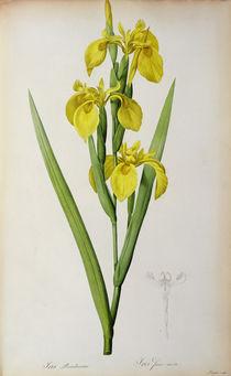 Iris Pseudacorus, from `Les Liliacees' von Pierre Joseph Redoute