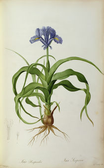 Iris Scorpioides, from `Les Liliacees' von Pierre Joseph Redoute