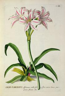 Lilio-Narcissus, Africanus von Pierre Joseph Redoute