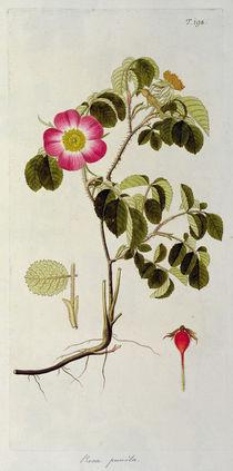 Rosa Pumila, from 'Les Roses' Vol II von Pierre Joseph Redoute