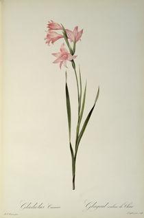Gladiolus Carneus, from `Les Liliacees' von Pierre Joseph Redoute