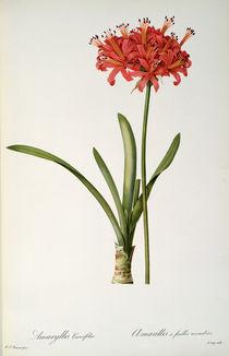 Amaryllis Curvifolia, 1809 by Pierre Joseph Redoute