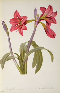 Amaryllis Brasiliensis, from `Les Liliacees' by Pierre Redoute von Pierre Joseph Redoute