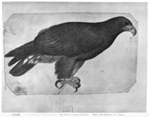 Hawk, from the The Vallardi Album by Antonio Pisanello
