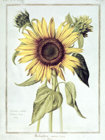 Helianthus Annuus no.71 from 'Velins du Roi Vol.36' von Nicolas Robert