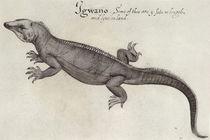 Iguana by John White