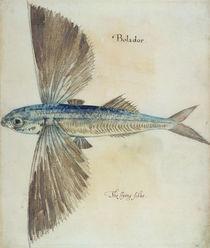 Flying-Fish by John White