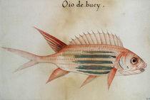 Squirrel fish or Soldier fish von John White