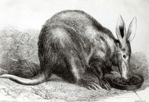 The Cape Ant-Eater at the Zoological Society's Gardens by English School