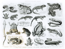 Batrachians and other Amphibia von English School