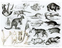 Marsupialia, Monetremata, Edentata by English School