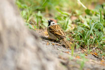 Sparrow on the Ground by maxal-tamor