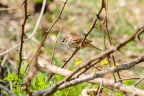 Sparrow in the Thorns by maxal-tamor