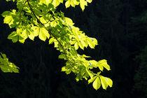 Frisches Laub vor einem dunklen Nadelwald by Ronald Nickel