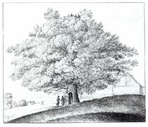 Hollow Tree at Hampstead, 1663 by Wenceslaus Hollar