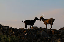 Goat Love by Amber D Hathaway Photography