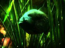 Piranha auf der Lauer by kattobello