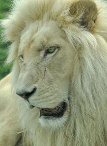 Weisser Löwe von Katerina Mirus