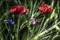 Mohnblumen by frakn