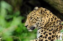 Amur Leopard von Katerina Mirus