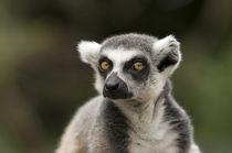 Lemur Katta by Katerina Mirus