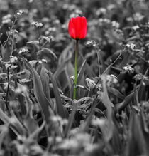 Red Tulip by Sally White
