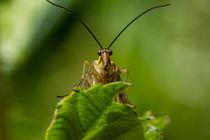 Eine Skorpionsfliege schaut Dich an von Ronald Nickel