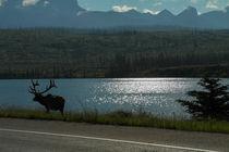 'Elch in Kanada' by stephiii