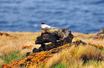 Fluss-Seeschwalbe, Azoren by Dorothee Rund