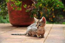 Kätzchen, Azoren von Dorothee Rund