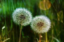 Zwei Pusteblumen  auf grüner Wiese  von Claudia Evans