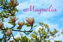 Magnolia by Claudia Evans