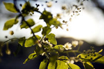Spring Blossoms von Arianna Biasini