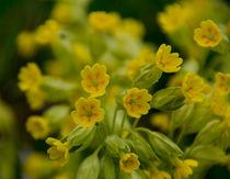 Blüten der Wiesen-Primel im Frühling von Ronald Nickel
