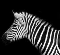 Zebra by la-mola-lighthouse