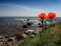 Roter Mohn by eksfotos