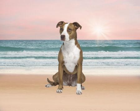 Pitbull-beach