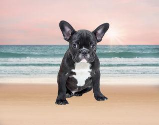 French-bulldog-beach