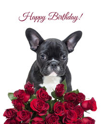 French Bulldog wishing Birthday with roses by Sapan Patel