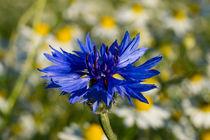 Die blaue Blüte der Kornblume im Kamillenfeld by Ronald Nickel