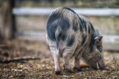 Piggy-9730m