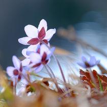 'Der Sonne entgegen - Leberblümchen am Seeufer' von Thomas Matzl