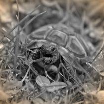 Nostalgie Griechische Landschildkröte von kattobello