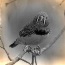 Nostalgie Zebrafink von kattobello