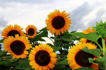 Sonnenblumen von Heinz E. Hornecker