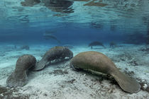 Gruppe Karibik-Manati oder Nagel-Manati (Trichechus manatus), ruhen, Three Sisters Springs, Manati Schutzgebiet, Crystal River, Florida, USA | Group West Indian manatee or Sea Cow (Trichechus manatus), resting von Norbert Probst