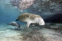Karibik-Manati oder Nagel-Manati (Trichechus manatus), Muttertier, Kuh mit Kalb | West Indian manatee or Sea Cow (Trichechus manatus), Mother animal, cow with calf by Norbert Probst